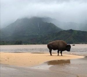 Kauai Big Storm stranded buffalo on beach